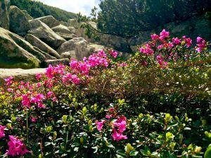 Retezat - Bujorul Retezat: Frumusețe, cultură și istorie Retezat: Frumusețe, cultură și istorie Retezat Bujorul 300x225