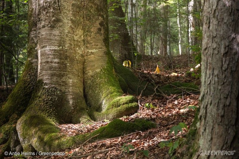 Nordic Forest in Romania. Glodeasa Forest Natura 2000 site in the Carpathian Mountains. Beech trees. Rumaenischer Wald. Alte Buche im Breite Natura 2000 in den Karpaten. Păduri ferite de pasul omului Păduri ferite de pasul omului GP0STPAFA Web size with credit line